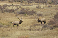 Bull Elk Posturing for Dominance Royalty Free Stock Photography