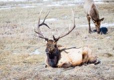Bull Elk. A bull elk on the prairie Royalty Free Stock Photo
