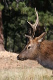 Bull Elk Profile royalty free stock photography