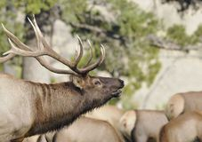 Bull Elk Profile Stock Photography