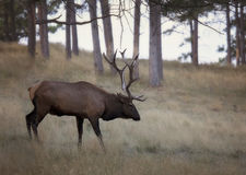 Bull elk Stock Photo