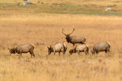 Bull elk protecting cows during fall mating season in golden meadow Royalty Free Stock Image