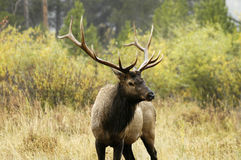 Bull elk in rain. A bull elk during the rut in Rocky Mountain National Park Royalty Free Stock Photo