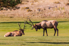 Bull Elk Ready to fight. A pair of bull elk getting ready to fight during the rut royalty free stock photo