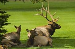 Bull Elk resting on fairway Stock Image