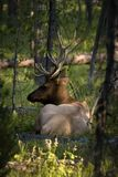 Elk resting in the forest Stock Photography