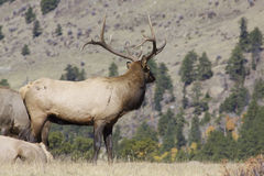 Bull Elk on Ridge Royalty Free Stock Images