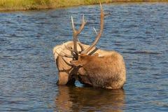 Bull Elk in River Stock Photos