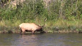 Bull Elk in River stock video