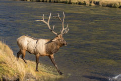 Bull Elk by River Royalty Free Stock Photo