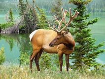Bull Elk in Rocky Mountain Stock Photos
