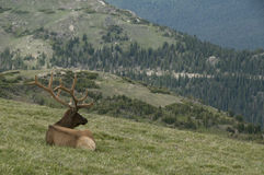 Bull Elk at Rocky Mountain National Park. A bull elk enjoying the view of Rocky Mountain National Park, Colorado Royalty Free Stock Photos
