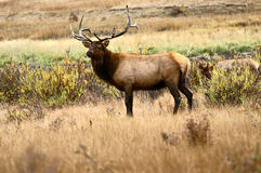 Bull Elk at Rocky Mountain National Park Stock Image