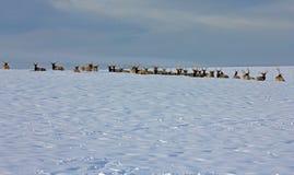 Bull Elk in a Row Royalty Free Stock Photos