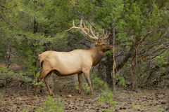 Bull Elk by Rub Stock Photo