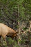 Bull Elk Rubbing Antlers. A big bull elk rubs his antlers on a small tree Royalty Free Stock Image