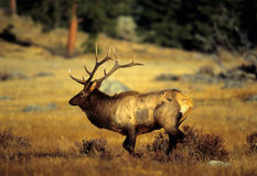 Bull Elk Running Across Meadow Royalty Free Stock Images