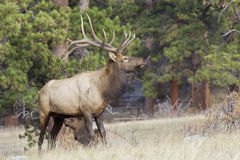 Bull Elk in Rut. A bull elk standing next to a bedded cow in a mountain meadow Stock Images
