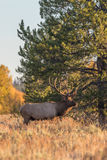 Bull Elk in Rut Stock Image