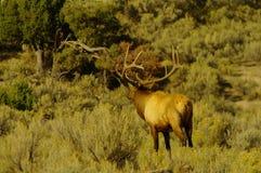 Bull Elk in rut Stock Image