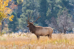 Bull Elk in Rut Royalty Free Stock Photos