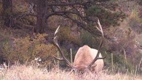 Bull Elk in Rut stock video