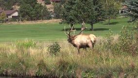 Bull Elk in Rut stock footage