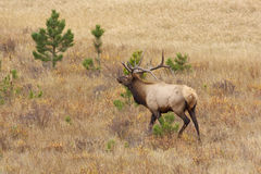 Bull Elk in Rut Royalty Free Stock Image