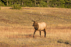 Bull Elk in Rut Stock Photos