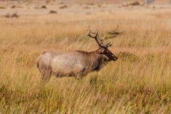 Bull Elk in Rut Royalty Free Stock Photos