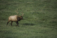 Bull Elk in Rut Royalty Free Stock Photo