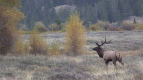 Bull Elk in Rut Trotting stock footage