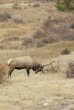 Bull Elk Rutting Stock Photo