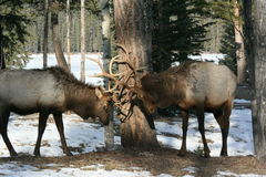Bull elk rutting in Jasper National Park Stock Image