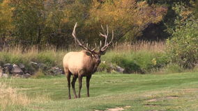 Bull Elk Rutting stock video