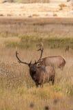 Bull Elk Royalty Free Stock Photos