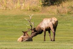 Bull Elk Rutting Royalty Free Stock Images