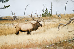 Bull Elk savors the moment Stock Image