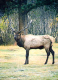 Bull Elk scan01 Stock Photography