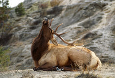 Bull Elk Scratching his Rump with his Antlers Royalty Free Stock Images