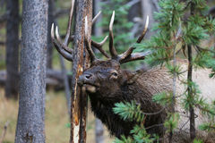 Bull Elk Sharpening Antlers in Yellowstone National Park Royalty Free Stock Image