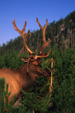 Bull Elk Shedding his Velvet Stock Images