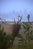 Bull Elk Shedding his Velvet Stock Photos