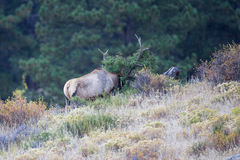 Bull elk shredding fir tree Royalty Free Stock Photography
