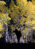 Bull elk silhouette. Silhouette of a bull elk, in front of golden aspen trees, during the fall rut, in Rocky Mountain national park Stock Photos