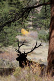 Bull Elk Silhouetted Under Pine Royalty Free Stock Images