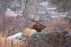 Bull elk sitting  down during a snow storm. Bull elk  sitting down during a snow storm in mountains Stock Photos