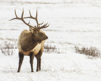 Bull elk in the snow Royalty Free Stock Photography
