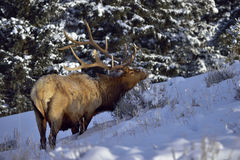 Bull Elk in snow forest Royalty Free Stock Photo