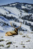 Bull elk in the snow. A bull elk rests in the snow during Yellowstone national park's winter season Royalty Free Stock Photography